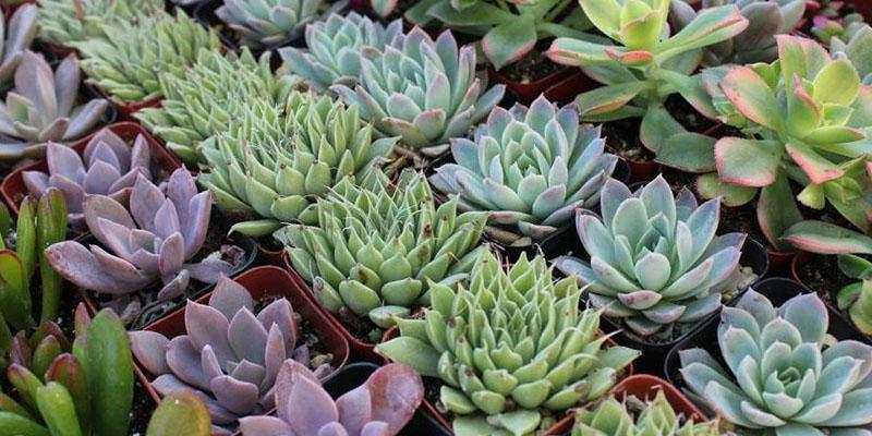 Grow Propagate Succulents Organic Farming