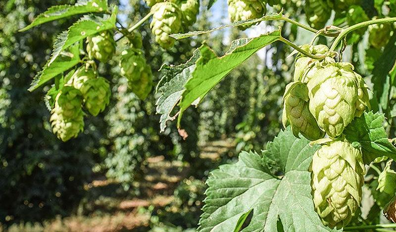 Craft Beer Brewing Distilling Herbs